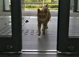 ВЯпонии два кота больше двух лет пытаются проникнуть вмузей. Они уже стали его символом!